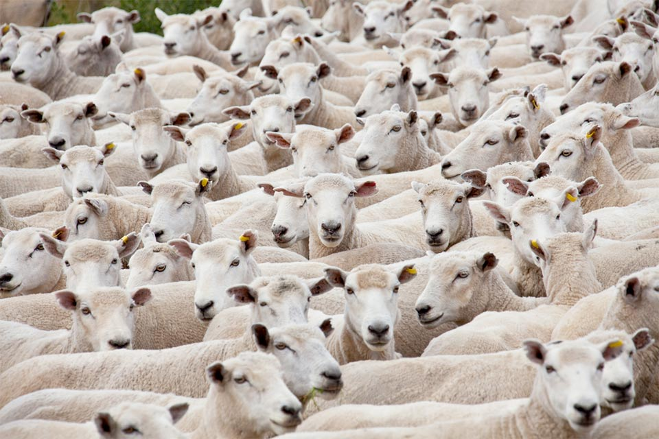 Animal welfare: if you want cheap knitwear, it's the sheep that may suffer