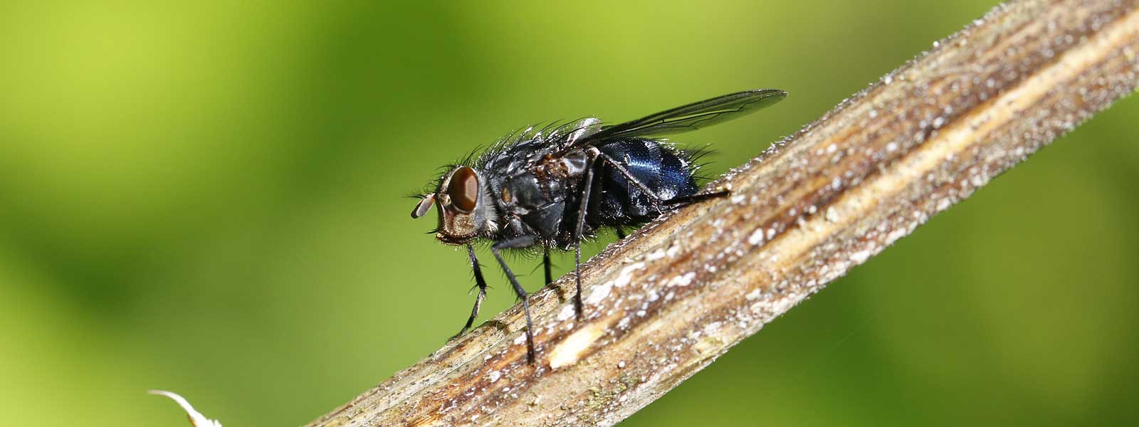 Flies of Keele