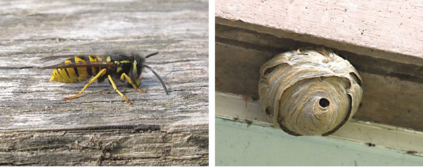 comm wasp with nest