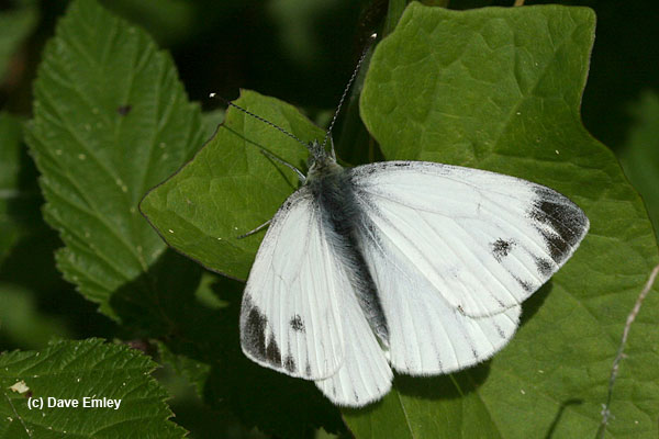 Green-veined White male