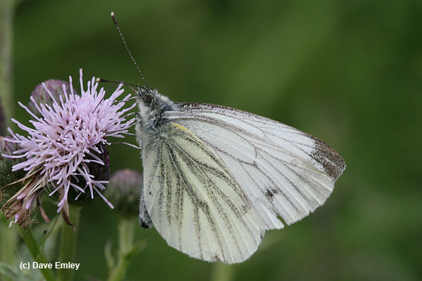 Green-veined White undersite