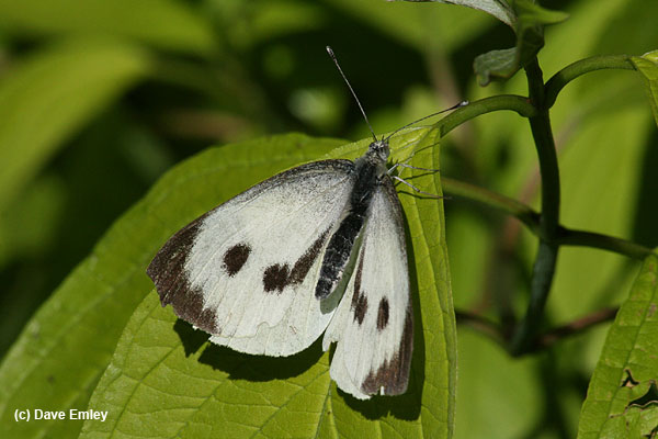 Large White female