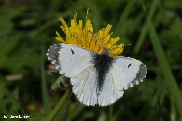 Orange-tip female