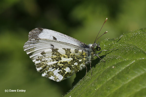 Orange-tip underside
