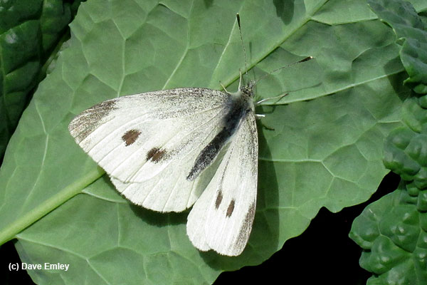 Small White female