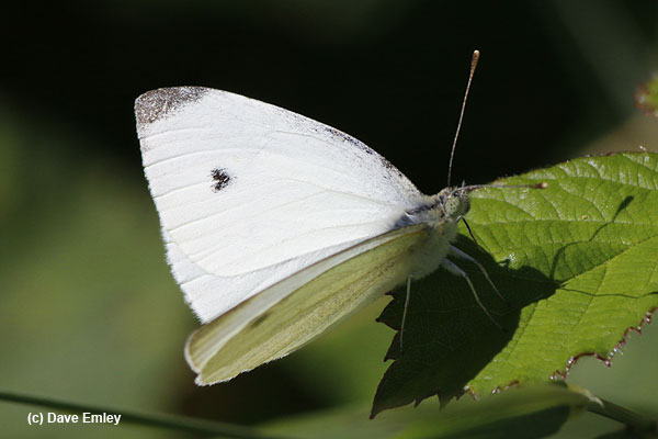 Small White male
