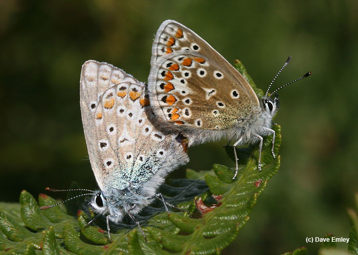 Common Blues mating showing underwing