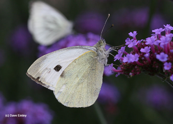 Large White underside