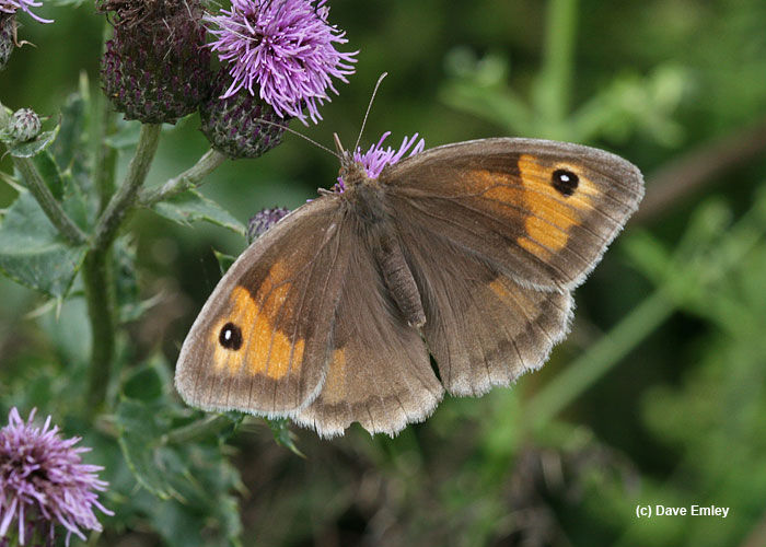 Keele University Meadow Brown