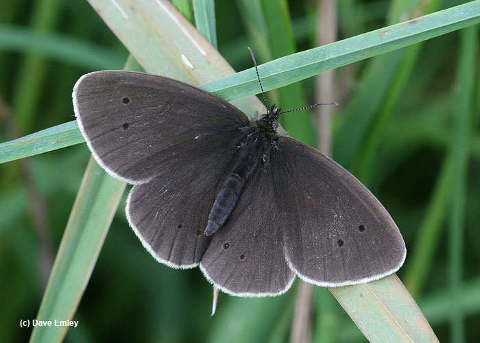 ringlet upperside