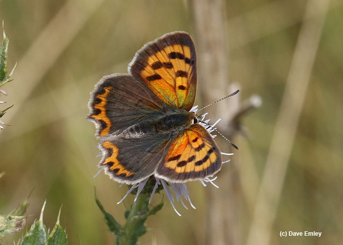 small copper upperside