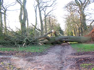 tree-fell jan07