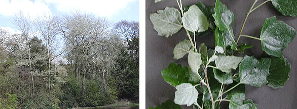 Grey Poplar tree and leaf
