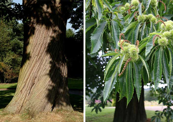 Sweet Chestnut trunk and leaf